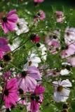 Fleurs de Cosmea Photo libre de droits