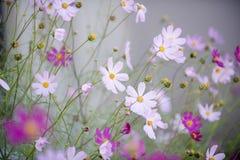 Fleurs de cosmos Photographie stock