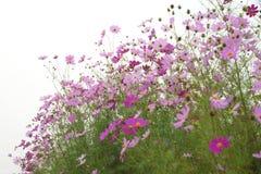 Fleurs de cosmos photo stock