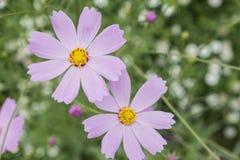 Fleurs de cosmos Image stock