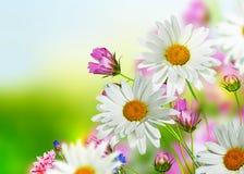 Fleurs de cosmos Photos stock