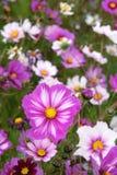 Fleurs de cosmos Photographie stock libre de droits