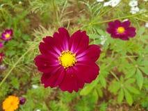Fleurs de cosmos Image libre de droits
