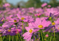 Fleurs de cosmos images stock
