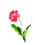 Fleurs de cosmos d'isolement sur le fond blanc Photo stock