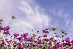 Fleurs de cosmos dans Photos libres de droits