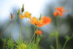 Fleurs de cosmos dans la rétro couleur Photographie stock libre de droits