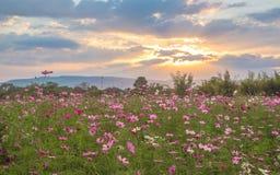 Fleurs de cosmos dans le coucher du soleil photographie stock