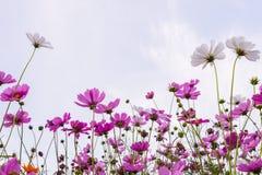 Fleurs de cosmos dans le jardin Image libre de droits