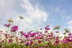 Fleurs de cosmos dans le jardin Images libres de droits