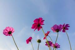 Fleurs de cosmos dans le jardin Photographie stock