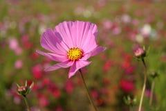 Fleurs de cosmos en France #4 Images stock