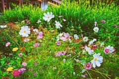 Fleurs de cosmos de Lauterbrunnen en été de la Suisse de canton de Berne photos libres de droits