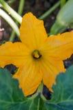 Fleurs de courgette dans le potager images stock