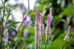 Fleurs de crête Photos stock