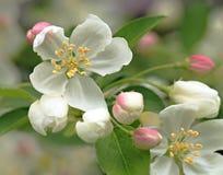 Fleurs de Crabapple Photos libres de droits