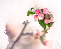 fleurs de Crabe-Apple dans la neige tôt de ressort Photo stock