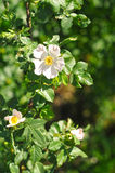 Fleurs de crabot Rose Photos libres de droits