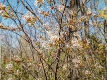 Fleurs de crique de Wilmont Images stock