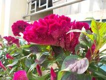 Fleurs de cristata de Celosia Photos stock
