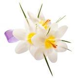 Fleurs de crocus Image libre de droits