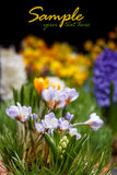 Fleurs de crocus Photos stock