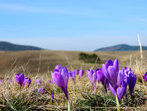 Fleurs de crocus Photo stock