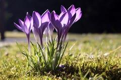 Fleurs de crocus Photographie stock libre de droits