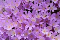 Fleurs de crocus d'automne Photos stock