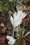 Fleurs de crocus dans la nature photographie stock