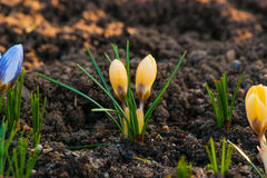 Fleurs de crocus de printemps dans un jardin Photographie stock