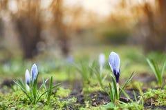 Fleurs de crocus de ressort dans un environnement naturel Photo libre de droits