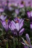 Fleurs de crocus et l'abeille image libre de droits