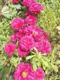 Fleurs de Crysanthemum, crysant rose Photos libres de droits