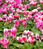 Fleurs de Cyclamen Photo stock