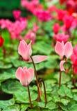 Fleurs de cyclamen Photographie stock