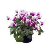 Fleurs de cyclamen sur le fond blanc photographie stock libre de droits