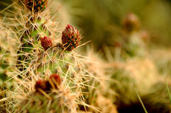 Fleurs de désert Photos stock