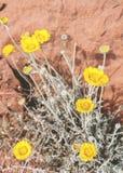 Fleurs de désert Photographie stock libre de droits