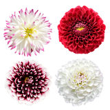 Fleurs de dahlia Image libre de droits