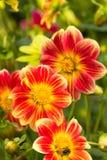Fleurs de dahlia Photos libres de droits