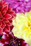 fleurs de dahlia de fond Photo stock