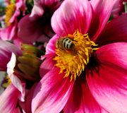 Fleurs de dahlias Photo stock