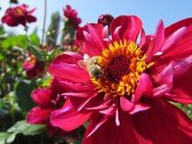 Fleurs de dahlias Photos libres de droits