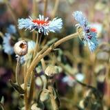 Fleurs de Daisy Fleabane Images libres de droits