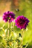 Fleurs de Dalia Photo libre de droits