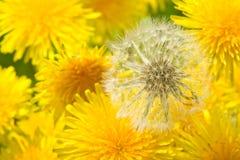 Fleurs de Dandellion Photographie stock libre de droits