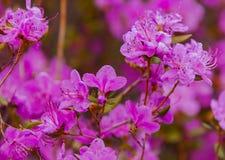 Fleurs de dauricum de rhododendron de plan rapproché Floraison de ressort Images stock
