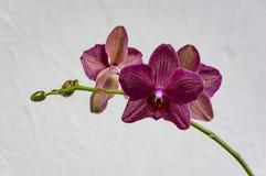 Fleurs de destin magenta de couleur Bourgogne et ou foncé rare d'orchidée de phalaenopsis, ou d'orchidée de mite pourpre, orchidé photos stock