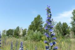 Fleurs de diable bleu Photo libre de droits
